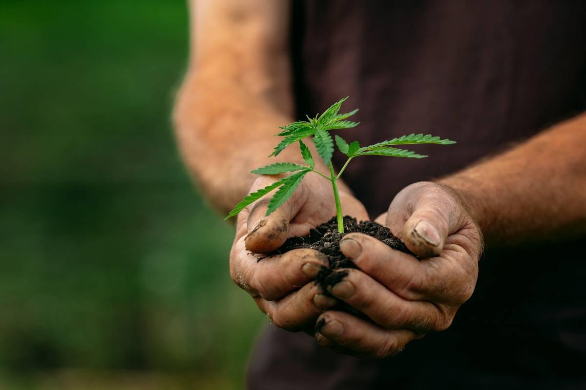 Cannabis legge